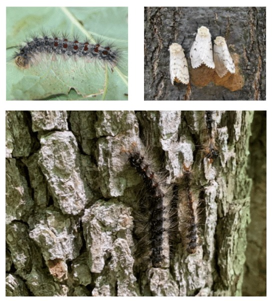 gypsy moth stages