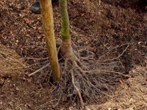 Tree and shrub planting tips